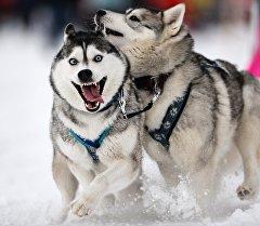 Собаки перед началом гонок на собачьих упряжках Рождественский заезд - 2015. Архивное фото