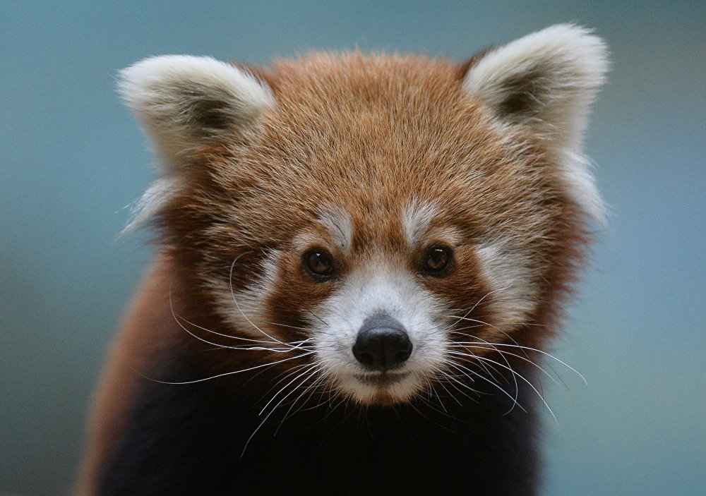 В Московском зоопарке появился самец красной панды