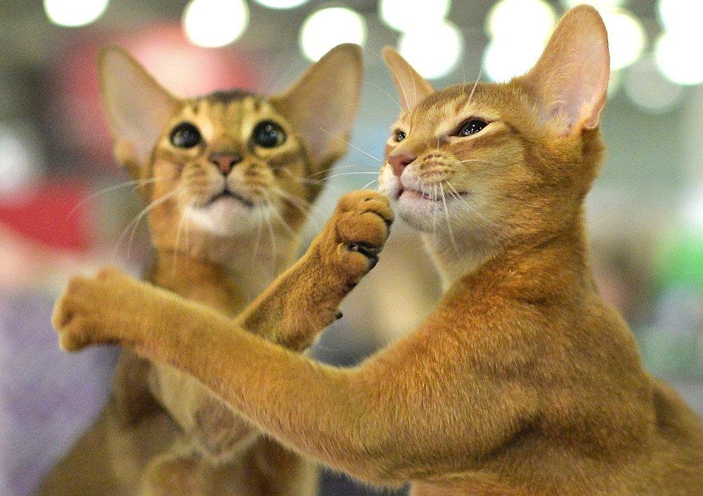 Международная выставка кошек Кэтсбург