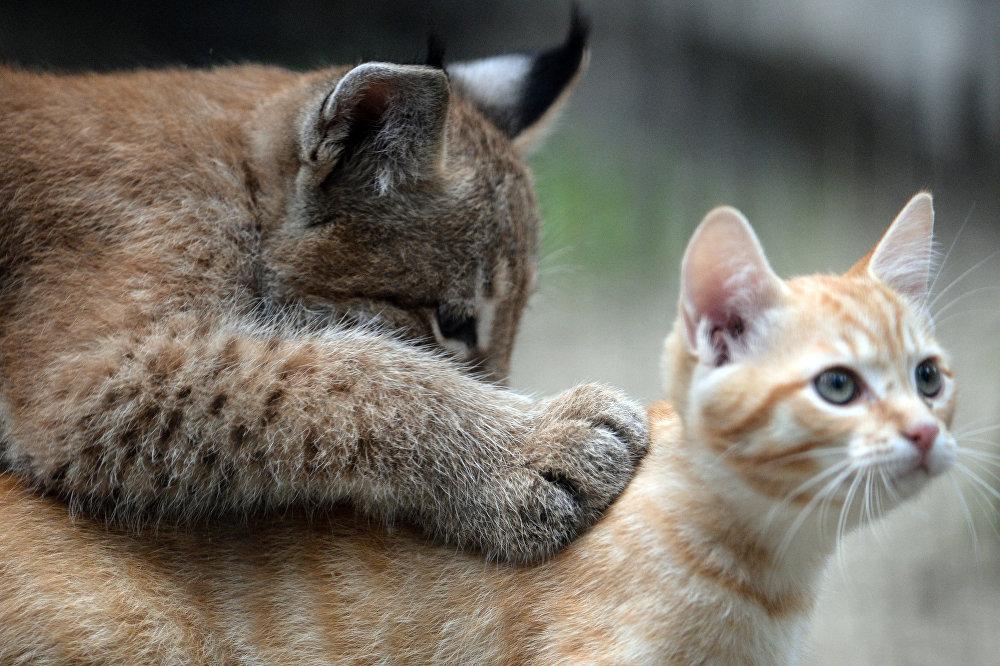Домашняя кошка выкормила детеныша рыси в зоопарке Новосибирска