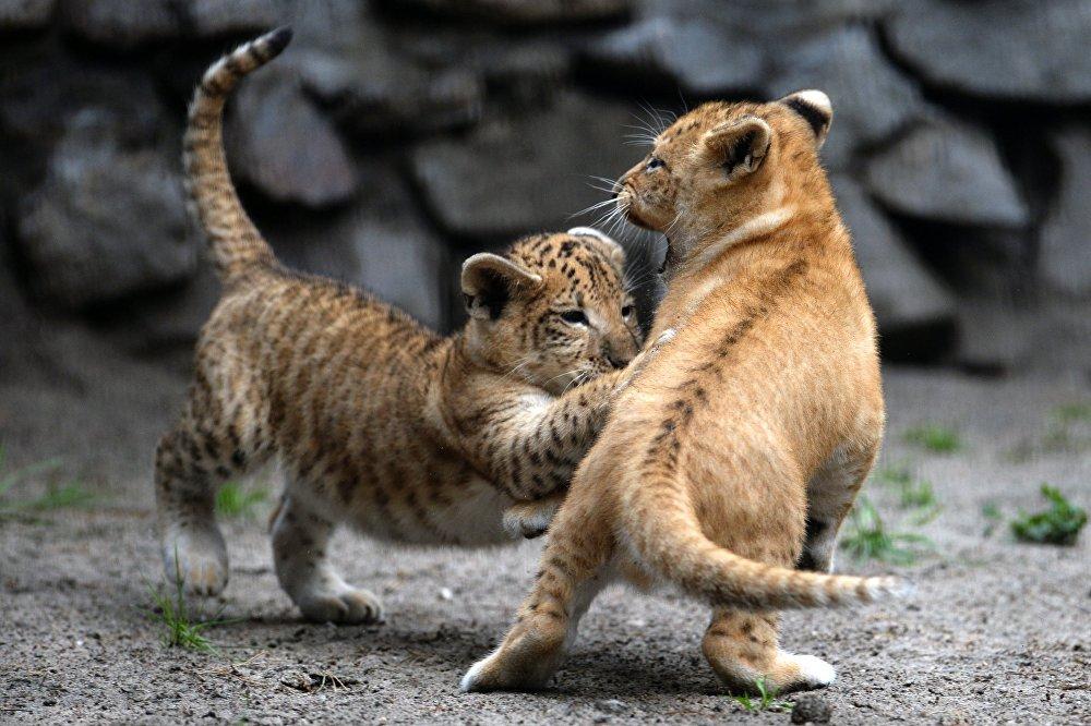 В Новосибирском зоопарке родились лигрята