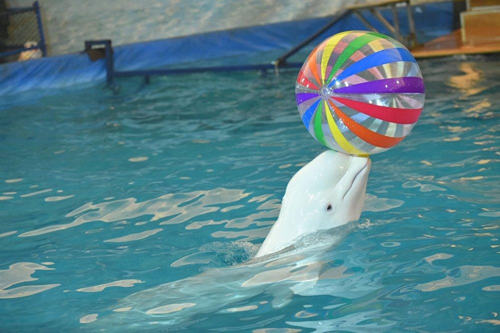 Кит-белуха играет с мячом