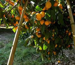 От мандаринового дерева до прилавка: как выращивают самый новогодний фрукт