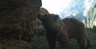 Три медвежонка и их мама попали в ловушку в кыргызских горах
