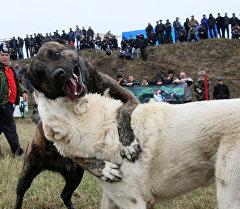 Собаки во время схваток на собачьих боях. Архивное фото