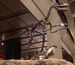 Скелет птицы динозавра археоптерикс в музее. Архивное фото