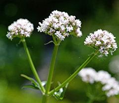 Валериана — род многолетних травянистых растений. Архивное фото