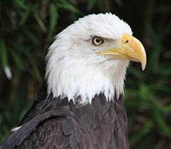 Хищная птица белоголовый орлан. Архивное фото