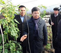 Премьер-министр Кыргызской Республики Темир Сариев во время посещения тепличного хозяйства, расположенное в селе Нариман Кара-Суйского района Ошской области.