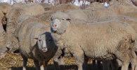 Кыргызские фермеры пытаются восстановить тонкорунную породу овец