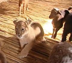 Львица среди ягнят: шестимесячная хищница Маша подружилась с отарой овец