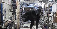 Горилла в космосе
