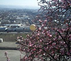 В городе Ош зацвело дерево фисташки