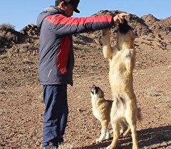 Заводчик породы кыргызских волкодавов Добот: по КР их осталось всего 7