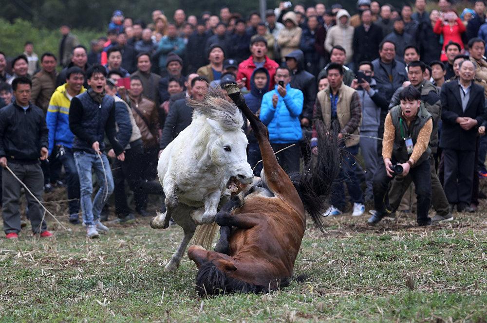 Традиционные лошадиные бои в Гуанси-Чжуанском автономном районе Китая
