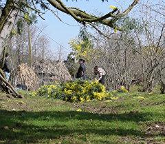 В Абхазии готовят мимозу к вывозу