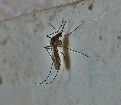 Анофелес, или малярийный комар, — род двукрылых насекомых, которые являются переносчиками малярии. Архивное фото