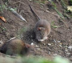 Крысы. Архивное фото