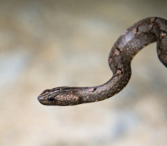 Гадюка - вид ядовитых змей. Архивное фото