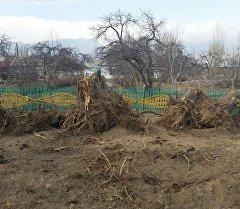 Вырубка деревьев в районе села Чоктал Иссык-Кульской области