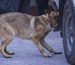 Собака ищет незаконный предмет в машине. Архивное фото