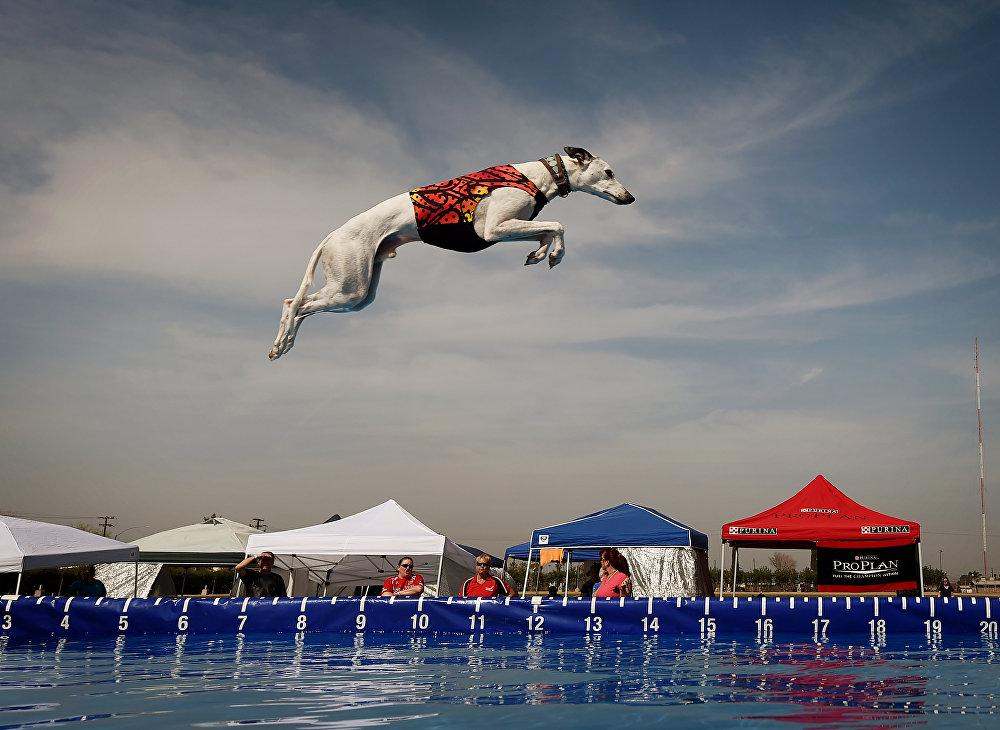Соревнование среди собак в док дайвинге в Калифорнии