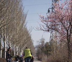 Цветение урюка в Бишкеке