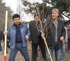 Алмазбек Атамбаев колуна күрөк кармап, бак отургузду