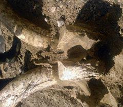 Ак-Суу районунда мамонттукуна окшош жандыктын баш сөөгү