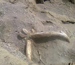 Останки предположительно мамонта найденные в Ак-Суйском районе Иссык-Кульской области