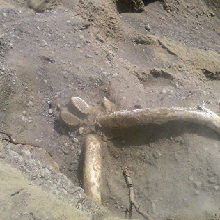 Көлдүктөр мамонтко окшош жандыктын сөөгүн кандайча табышканын айтып бе