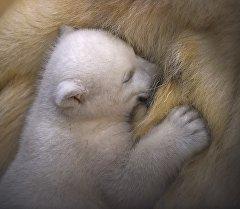 Полярный медвежонок. Архивное фото