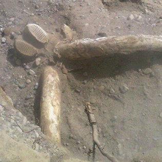 Жыргалаң суусунун жээгинен табылган мамонттукуна окшош жандыктын баш сөөгү