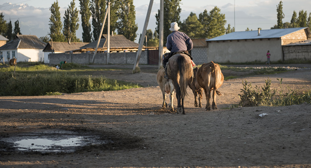 Мужчина пасет скот в деревне. Архивное фото