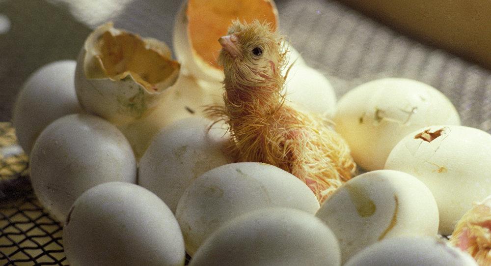 картинка вылупившегося цыпленка