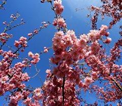 Раннее цветение Сакуры. Архивное фото