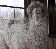 Верблюжонок, родившийся в Каракольском зоопарке