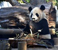 Панда на одном из зоопарков Японии