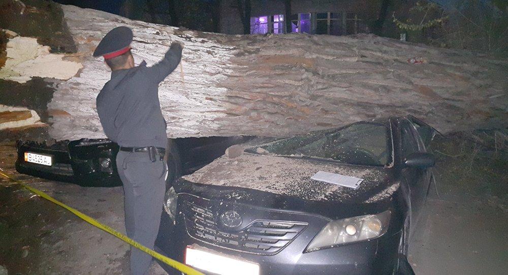 Упавшее дерево на два автомобиля на Чуй-Турусбекова