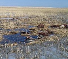 Трупы лошадей в 12 километрах от поселка Шидерты в Павлодарской области, Казахстан