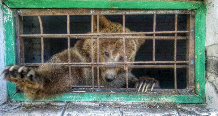 Тянь-шаньский бурый медведь по кличке Мишка находится в хороших условиях и под наблюдением ветеринаров.