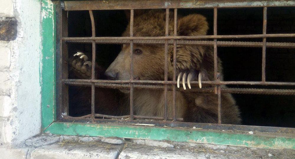 Тянь-шаньский бурый медведь по кличке Мишка