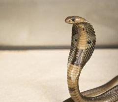 Кобра - ядовитых змей из семейства аспидов. Архивное фото