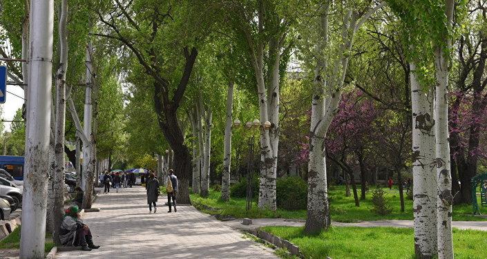 Бишкекте терек бүрлөрү адаттагыдан эрте түшө баштады.