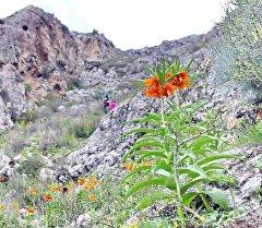 Цветок Айгуль (Рябчик Эдуарда) на одноименной горе в селе Кара-Булак. Архивное фото