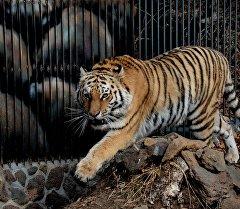 Зоопартагы тигр. Архив