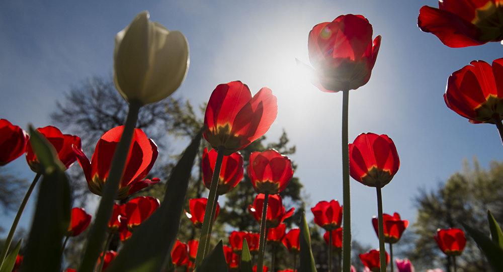 Тюльпан гүлдөрү. Архивдик сүрөт