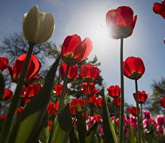 В центре Бишкека расцвели тюльпаны. Архивное фото