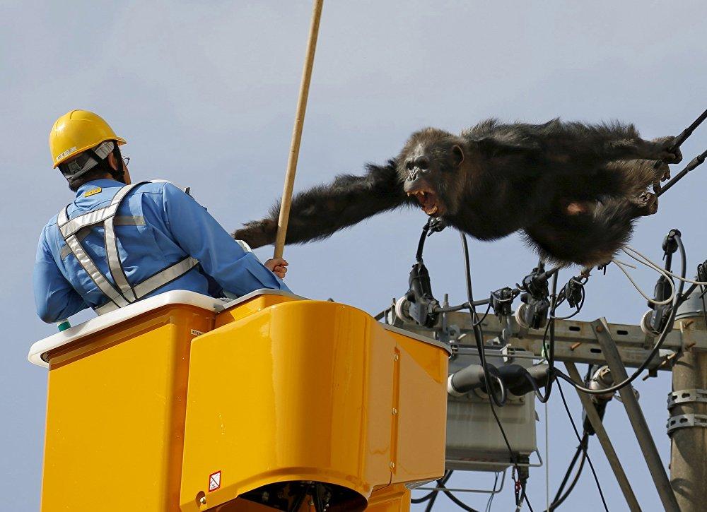 Побег шимпанзе Чача из зоопарка в Сендае, Япония