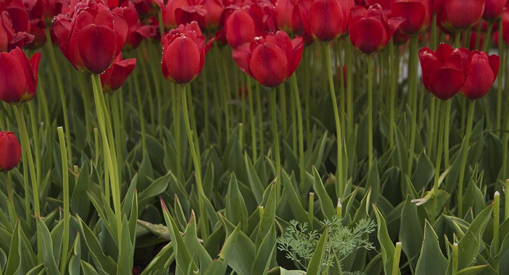 Клумбы тюльпанов. Архивное фото
